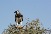 martial-eagle-met-vangst