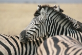 zebra-s-in-addo-elephant